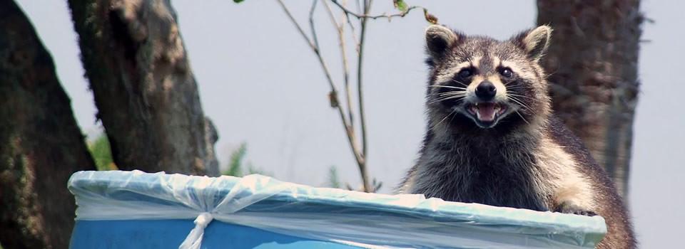 Friendswood raccoon control