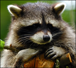 raccoon removal San Marcos