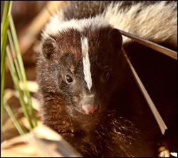 skunk removal San Marcos