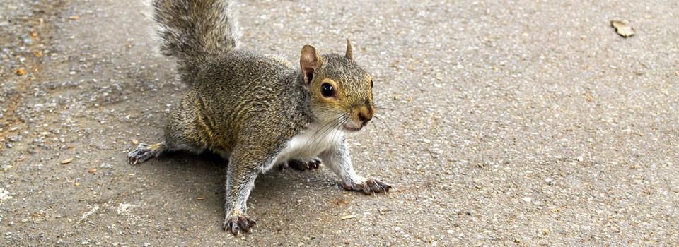 Friendswood squirrel control